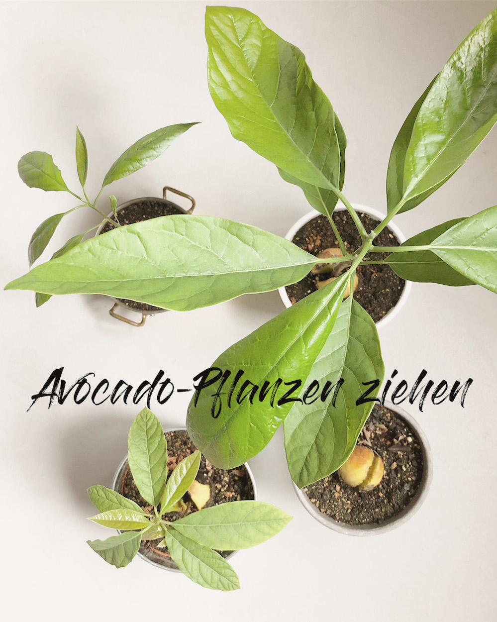 Avocado aus einem Kern ziehen