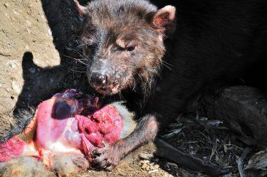 Tasmanischer Teufel beim Mittagessen.