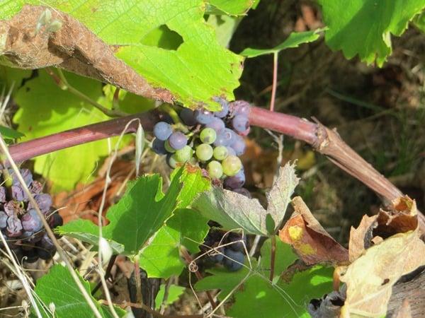 103-Levada-Wanderung-Madeira-Weintrauben
