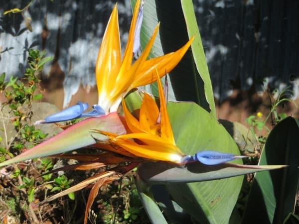 104-Levada-Wanderung-Madeira-Orchidee