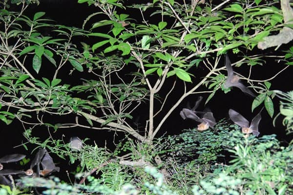 07_Fledermaus-Schnappschuss-Urwald-Mexiko-Maya-Land