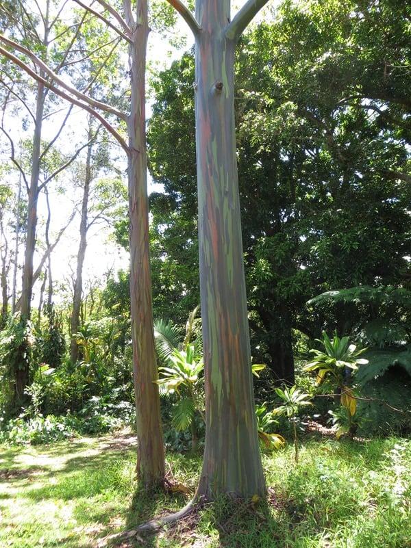 07_Regenbogen-Eucalyptus-Hawaii