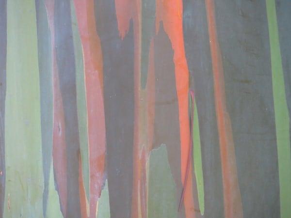 08_Regenbogen-Eucalyptus-Rinde-Hawaii