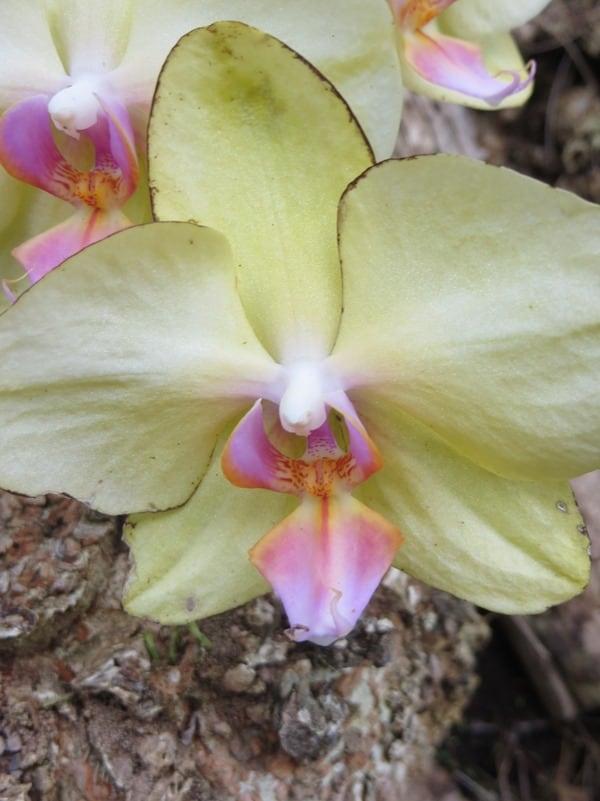 96_Orchidee-Botanical-World-Hilo-Big-Island-Hawaii