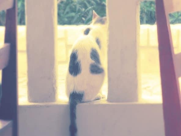 Sal Rei Tierwelt Katze Boa Vista Kapverden