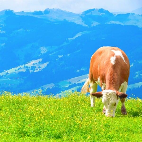 19_Bergidyll-mit-Kuh-Hahnenkamm-Kitzbuehel