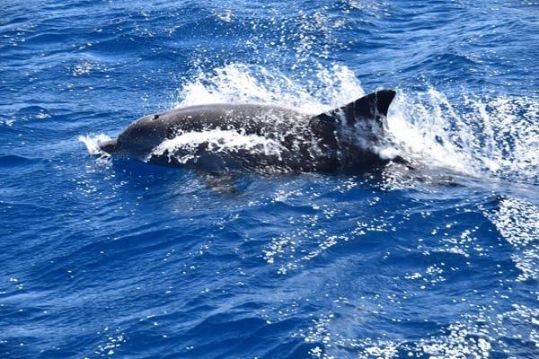 12_Delfin-beim-Islandhopping-Seychellen