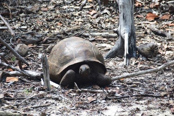 20_Riesenschildkroete-beim-Wandern-im-Naturschutzgebiet-Marine-National-Park-Curieuse-Seychellen