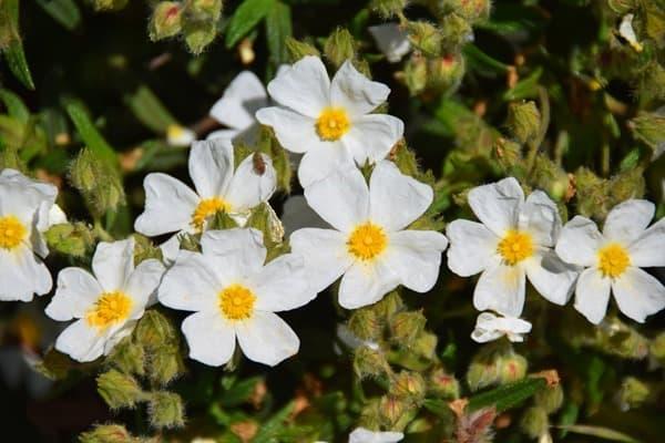 04_Blüten-Naturpark-Kamenjak-Premantura-Istrien-Kroatien
