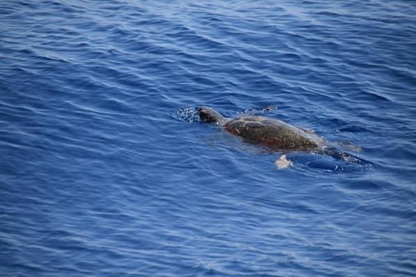 Whale Watching Meeresschildkröte Pelagos Sanctuary Mittelmeer Ligurien Italien