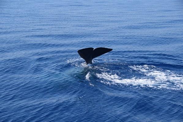 Whale Watching Pottwal taucht ab Wal Fluke Schwanzflosse Pelagos Sanctuary Mittelmeer Ligurien Italien