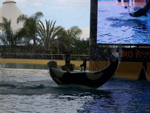 01_Orca-Killerwal-Loro-Parque-Teneriffa