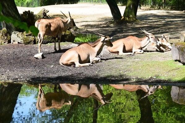 Elenantilope Fotosafari Tierpark Hellabrunn Zoo Muenchen