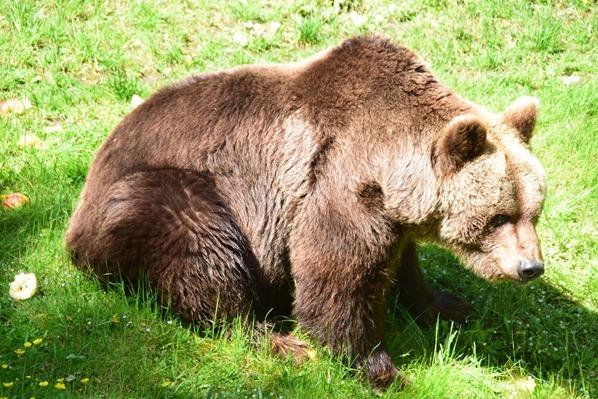 Braunbaer Fotosafari Tierpark Hellabrunn Zoo Muenchen