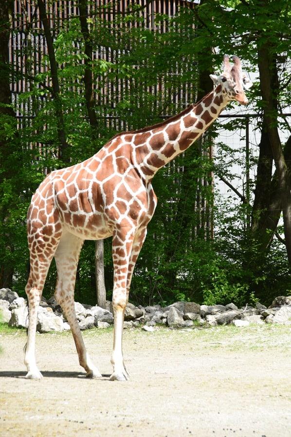 Giraffe Fotosafari Tierpark Hellabrunn Zoo Muenchen