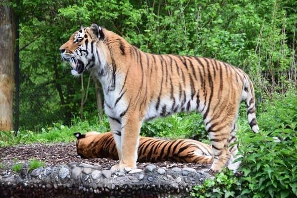 Tiger Fotosafari Tierpark Hellabrunn Zoo Muenchen