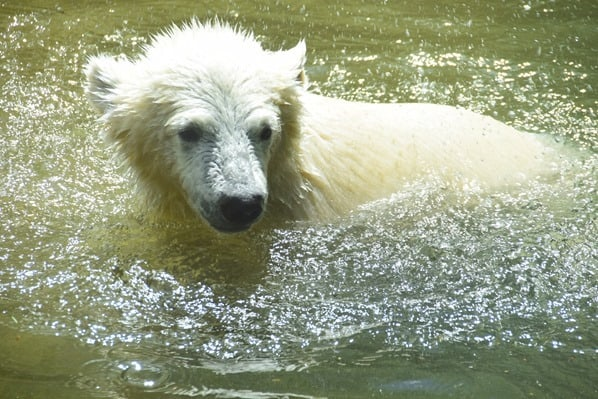Eisbaeren Baby Quintana schwimmt Fotosafari Tierpark Hellabrunn Zoo Muenchen