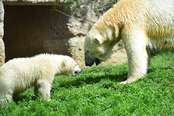 Eisbaeren Fotosafari Tierpark Hellabrunn Zoo Muenchen