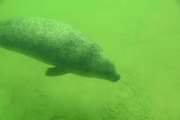 Nordsee Urlaub Seehund unter Wasser Seehundstation Friedrichskoog Dithmarschen Schleswig-Holstein Deutschland