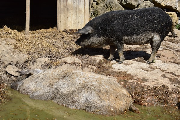 Wollschweine Markus Wasmeier Museum Freilichtmuseum Schliersee