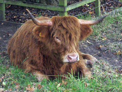 Scotland long hair coo (cow) at the Burrell Museum, Glasgow, Scotland.