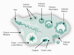 riserva ovarica
