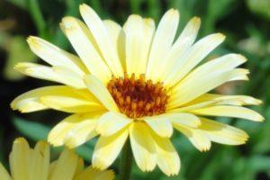 Ringelblume (Calendula officinalis), Blüte