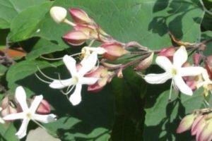 Japanischer Losbaum (Clerodendrum trichotomum), Blüte