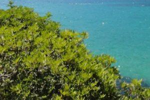 Wilde Pistazie, Mastix (Pistacia lentiscus)