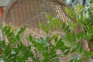 Wilde Pistazie, Mastix (Pistacia lentiscus), Blattwerk