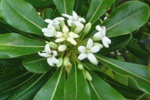 Chinesischer Klebsame (Pittosporum tobira), Blüte