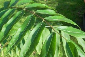 Indische Seifenbeere (Sapindus saponaria), Blattwerk