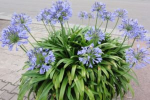 Schmucklilie, Agapanthus, blau