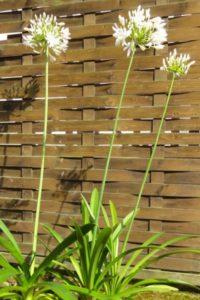 Schmucklilie, Agapanthus, weiss