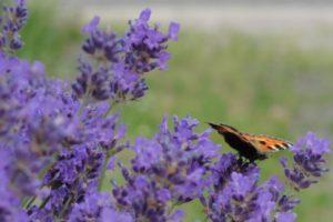 Echter Lavendel, Lavandula angustifolia, mit Schmetterling
