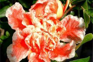 Punica granatum legrellei, Zier Granatapfel