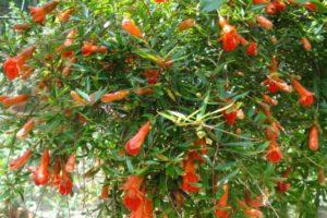 Punica granatum nana, Zwerg Granatapfel