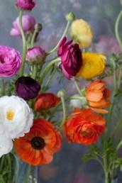 Colorful Rununculus