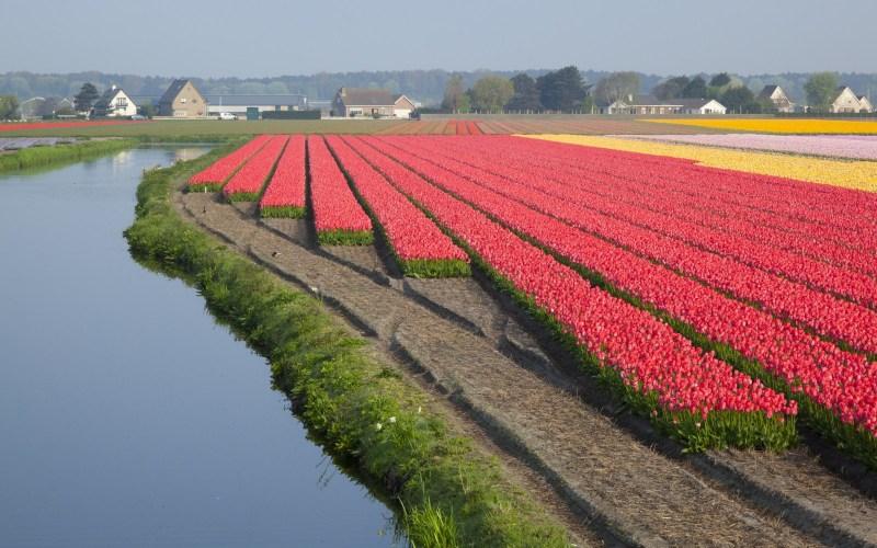 champs de tulipes amsterdam