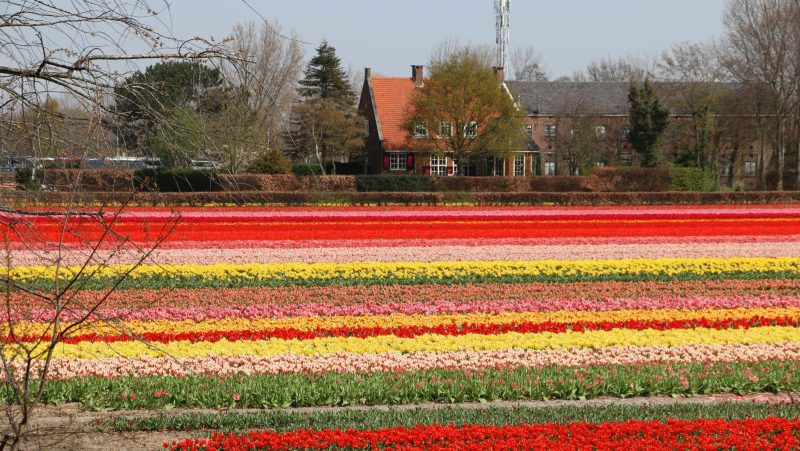 Fermes de tulipes