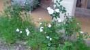 Roses de Mamie Nicoals (2) - 2012