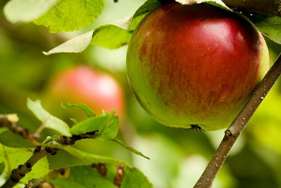 Apple tree by *clairity* - Flickr