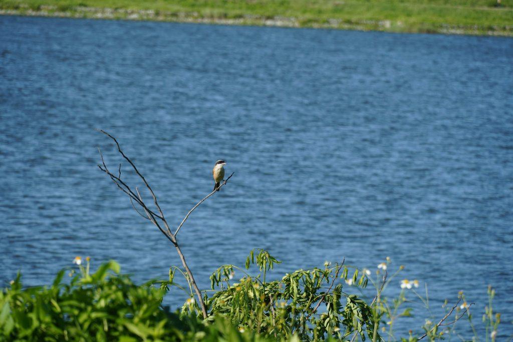 棕背伯勞 A6400 + E18-135 mm  135mm端 1/320  f6.3  iso 100 也可以拍鳥喔 !  攝於金門