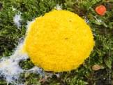 Gelbe Lohblüte oder Hexenbutter