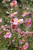 Die 8 schönsten Dauerblüher für den Garten   freudengarten