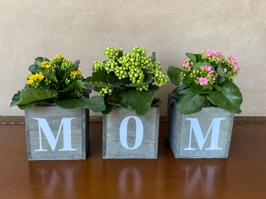 M-O-M Planter Trio Filled With Spring Kalanchoe