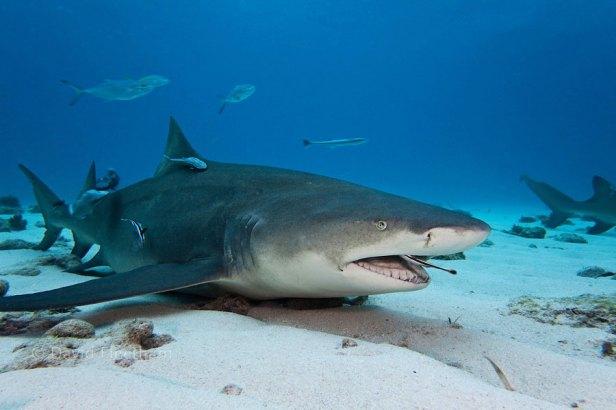 The Shark And The Remora Fish – A Unique Relationship!   North Shore Shark  Adventures
