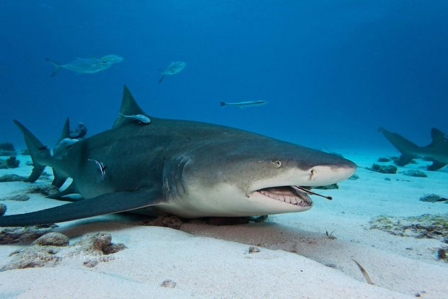 The Shark And The Remora Fish – A Unique Relationship! | North Shore Shark  Adventures