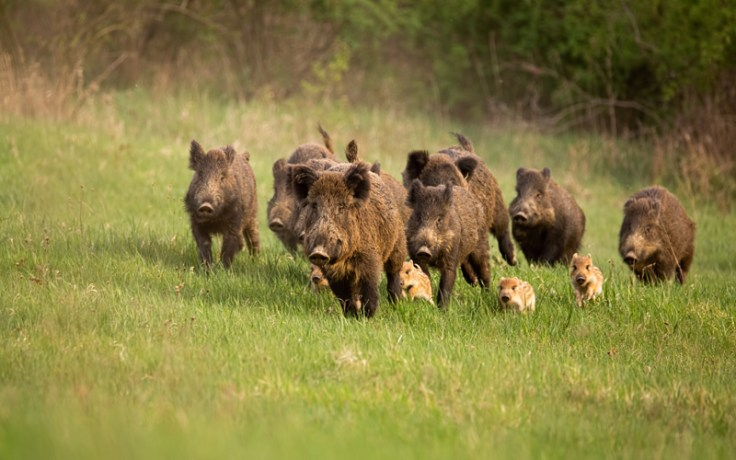 a herd of boars, the origin of the name averil