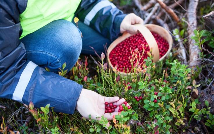 Person picking billberries